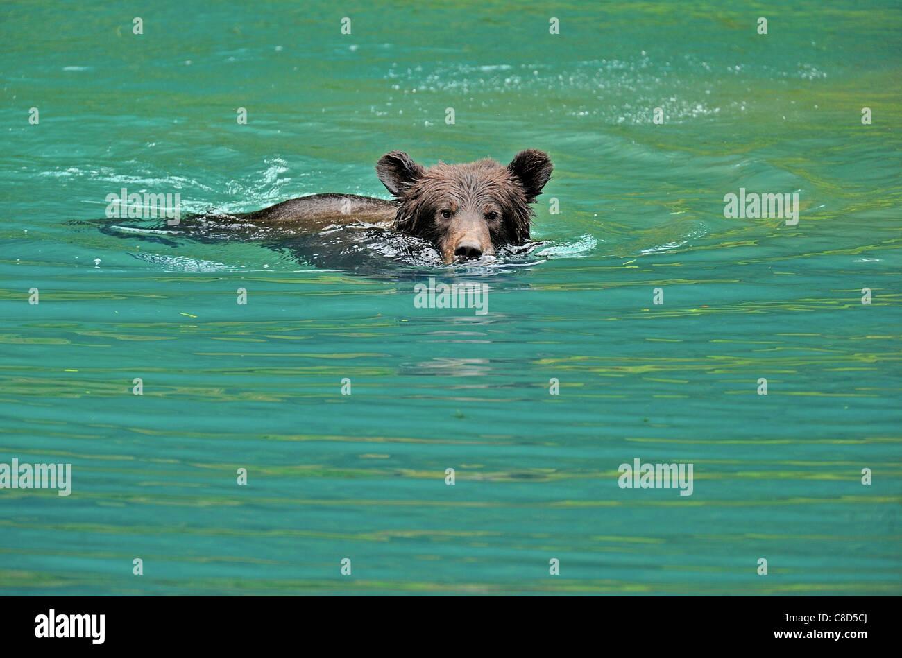 Ein Grizzly Bear Cub, Schwimmen in einem Teich mit Wasser zu spielen. Stockbild