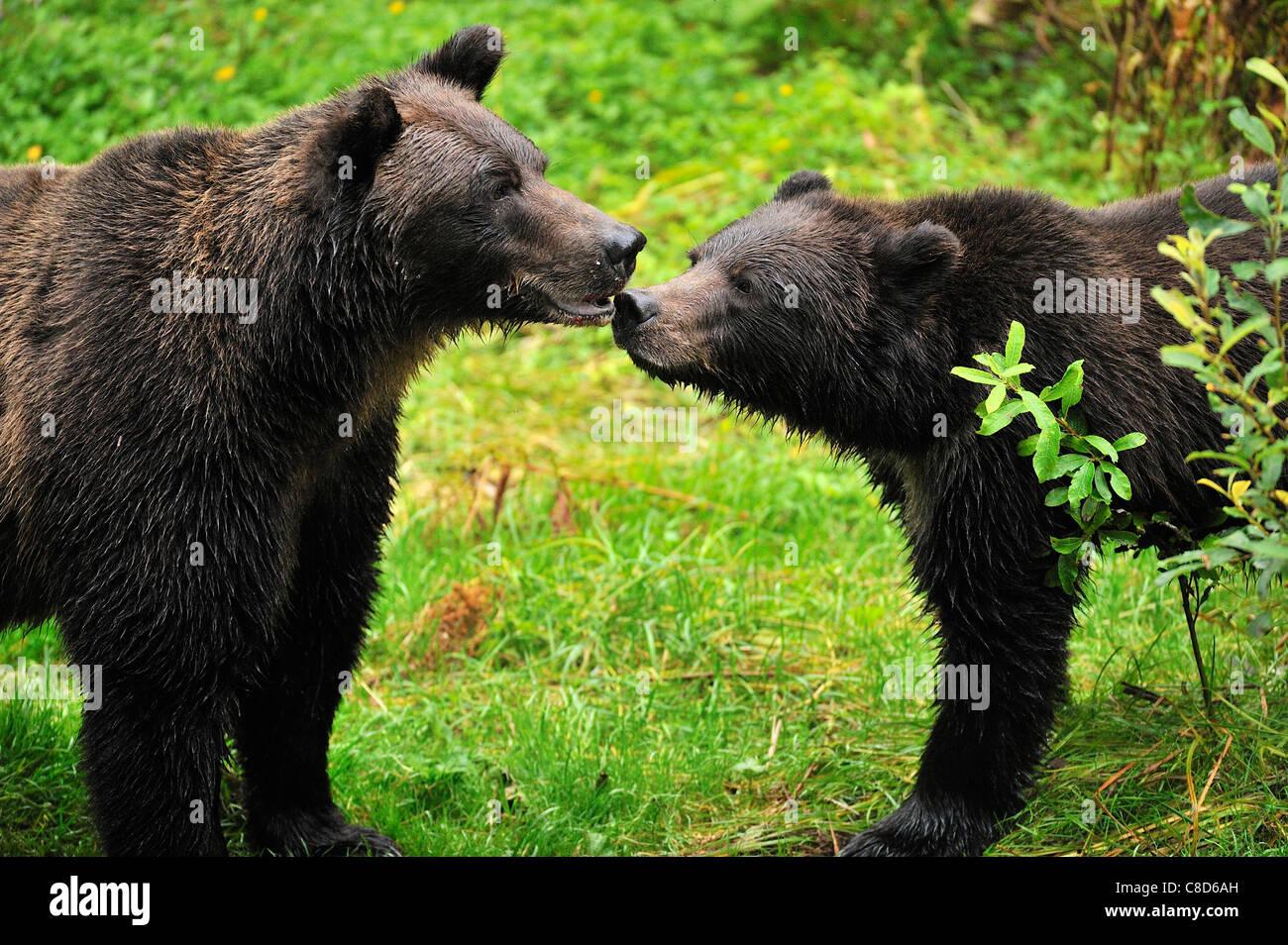 Mutter und Jungtier Grizzlybären. Stockbild