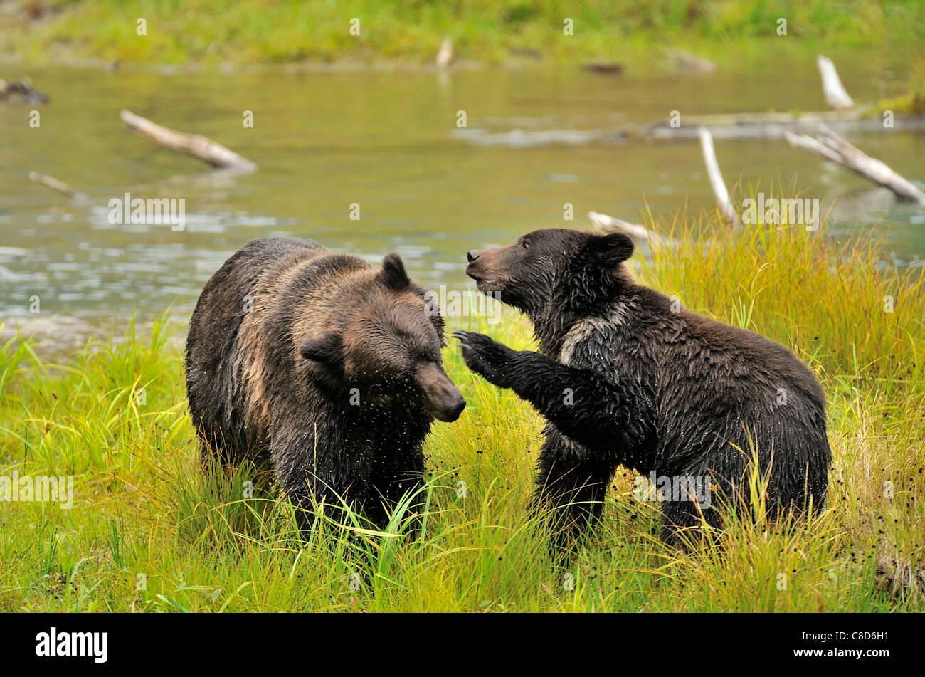 Mutter und Jungtier Grizzlybären spielerisch aggressiv Stockbild