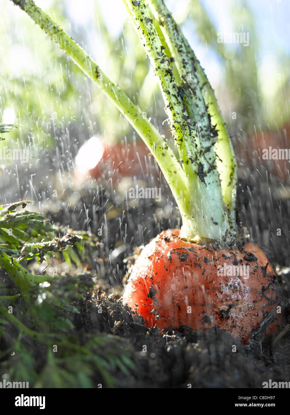 Karotten in Erde Stockbild