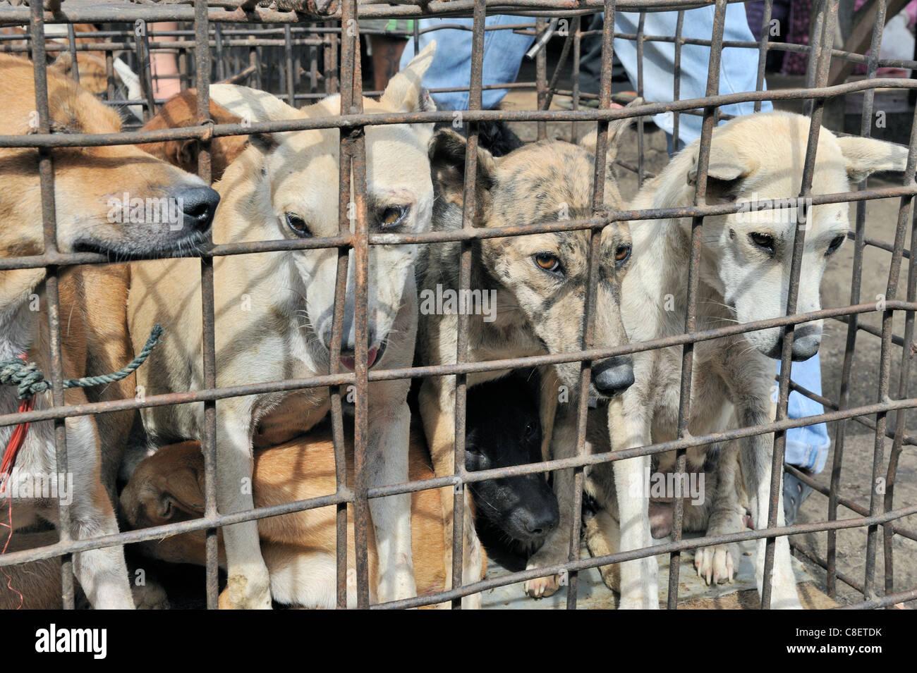 Hunde im Käfig wartet auf Schlachtung im asiatischen Markt Stockbild