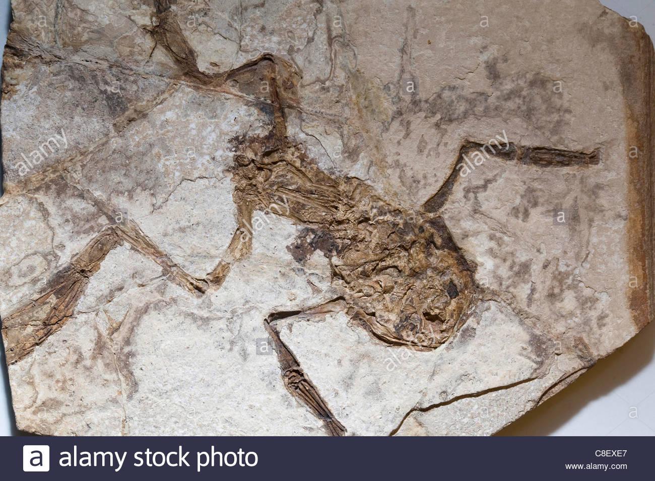 Fossil eines palaeobatrachus ein frosch aus dem terti r stockfoto bild 39666095 alamy - Frosch auf englisch ...