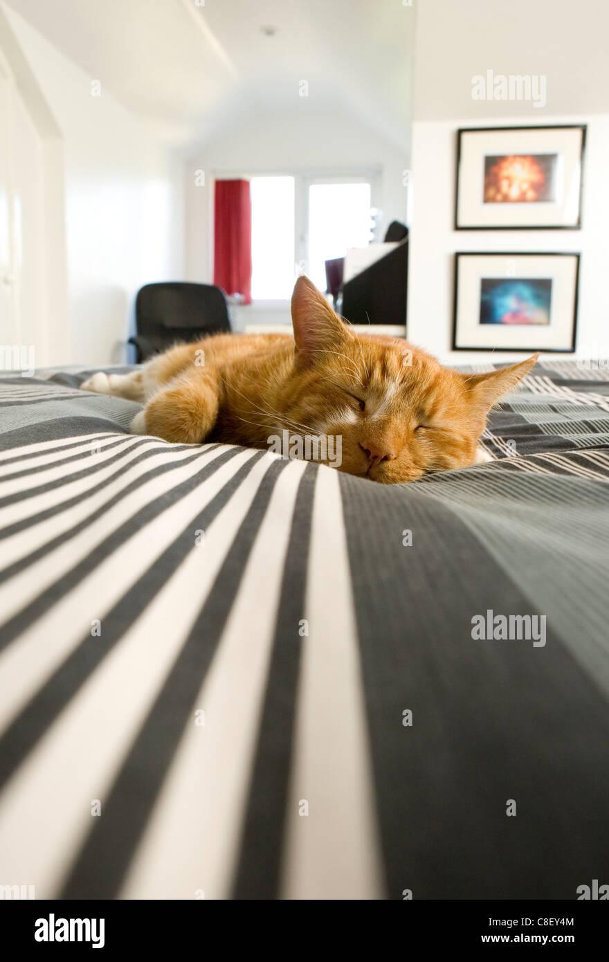 Alleinstehende Erwachsene Hauskatze auf einem Bett UK Stockbild