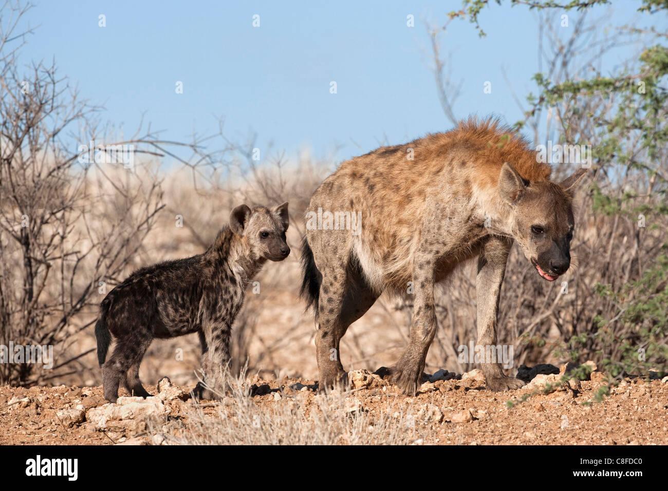 Gefleckte Hyäne mit Cub, Südafrika Stockbild