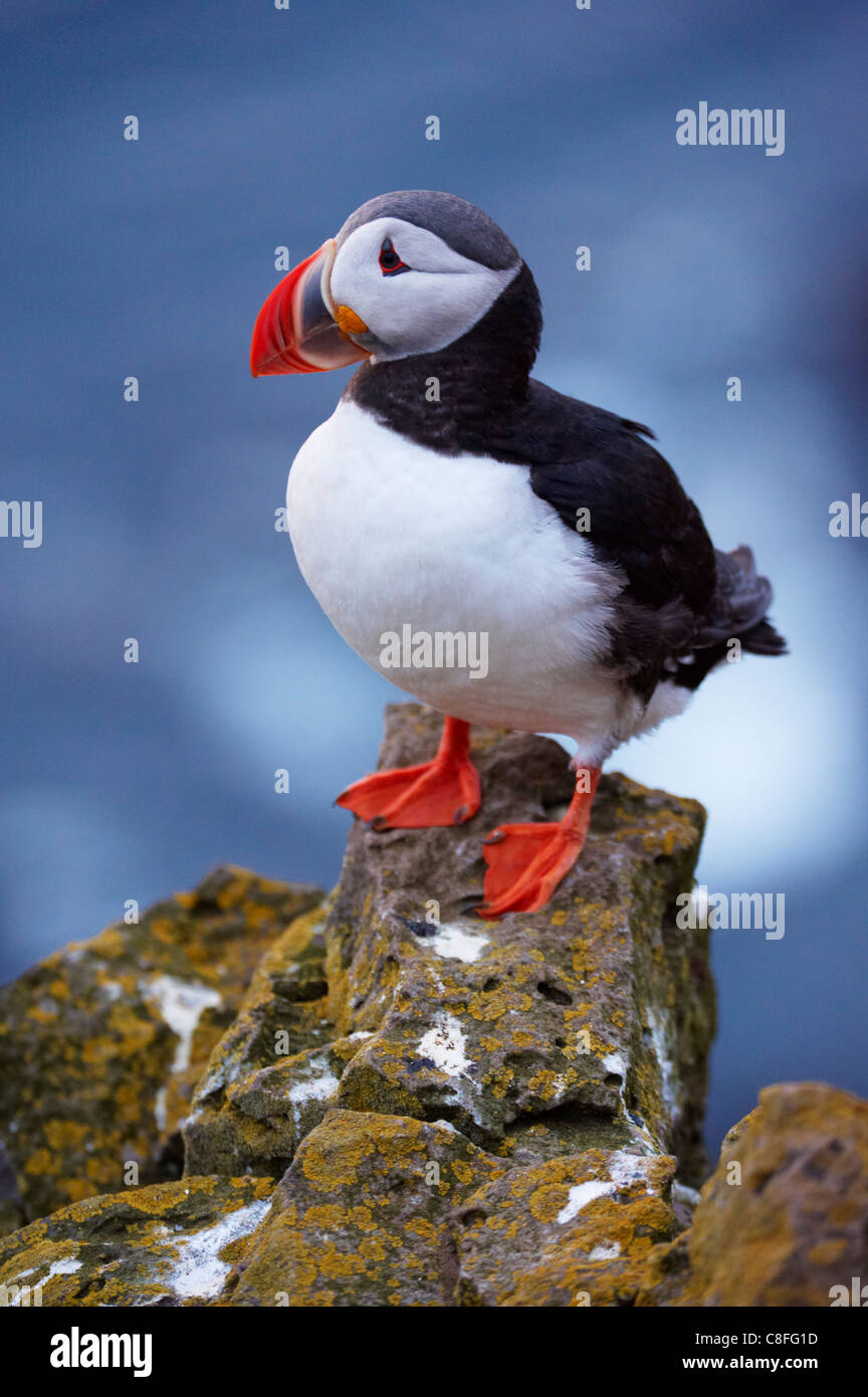 Papageitaucher (Fratercula Arctica) bei Latrabjarg, größte Vogel-Kolonie Europas Westfjorde (Vestfirðir, Stockbild