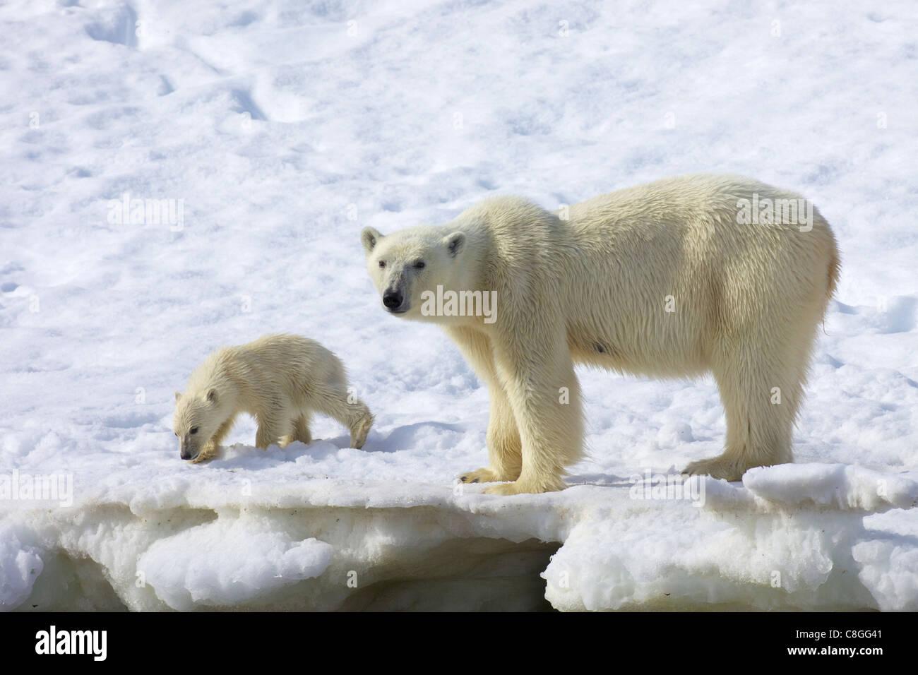 Eisbär-Mutter und sechs Monate Jungtier, arktischen Sommer, Holmiabukta, nördlichen Spitzbergen, Svalbard, Stockbild