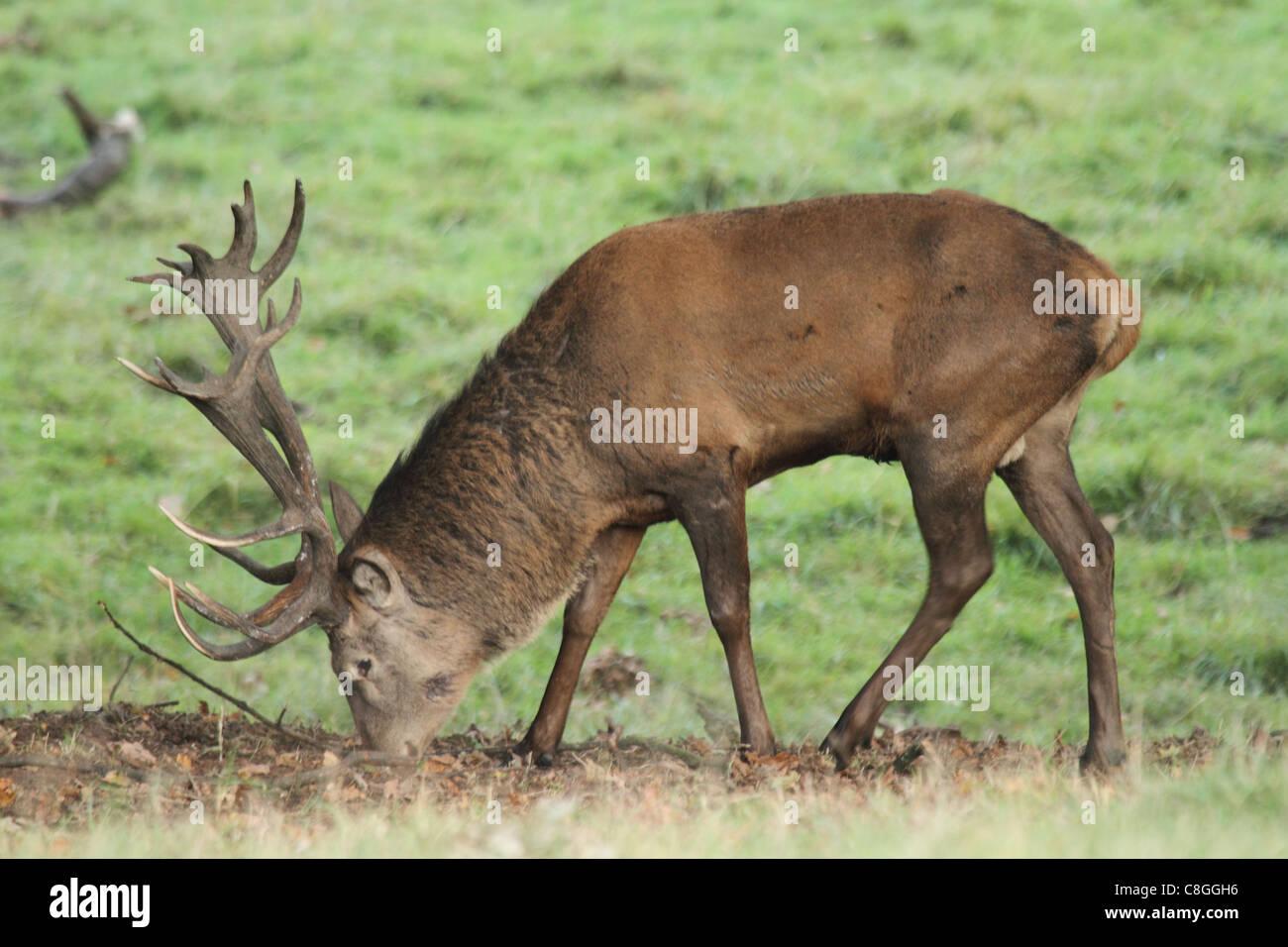 Damhirsch Hirsch auf grünem Hintergrund Stockfoto