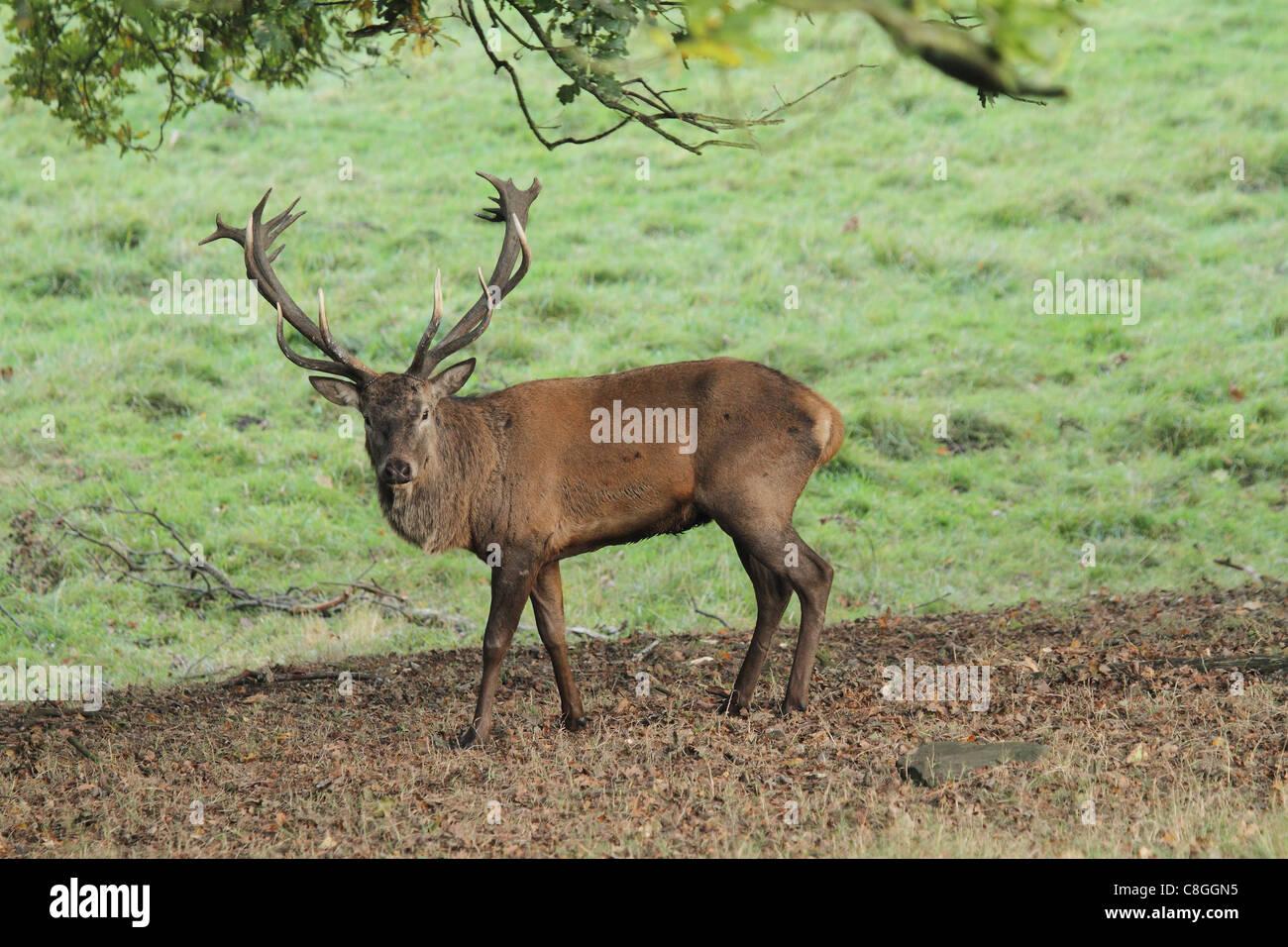 Damhirsch Hirsch auf grünem Hintergrund Stockbild