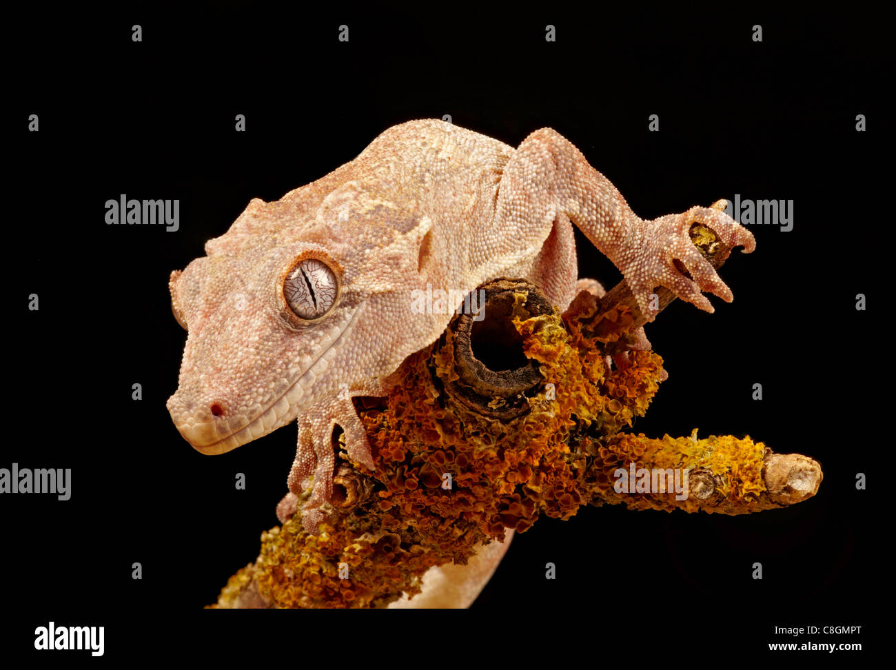 Gargoyle Gecko oder neue Caledonian holprigen Gecko Rhacodactylus auriculatus Stockfoto