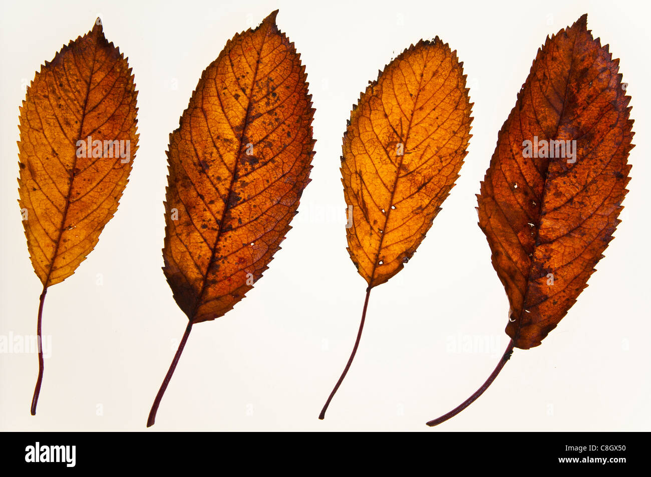 Blatter Herbst Wild Cherry Stockfoto Bild 39709740 Alamy