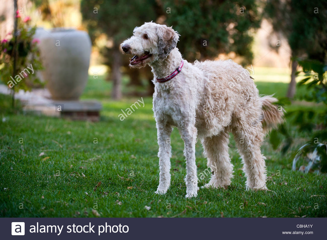 Ein Familienhund, halb rasiert, in Lincoln, Nebraska. Stockbild