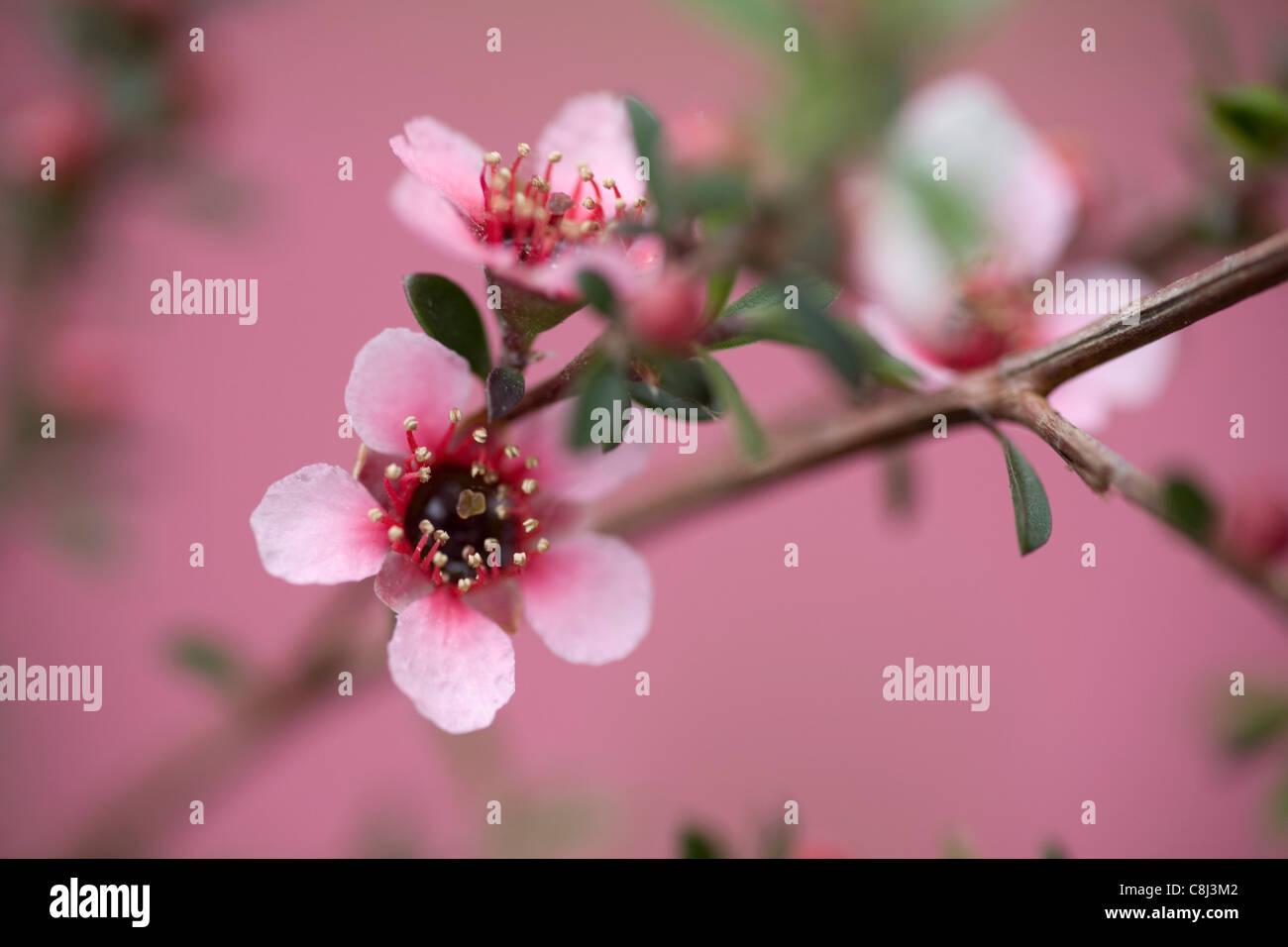 Manuka Blume auf rosa Stockbild