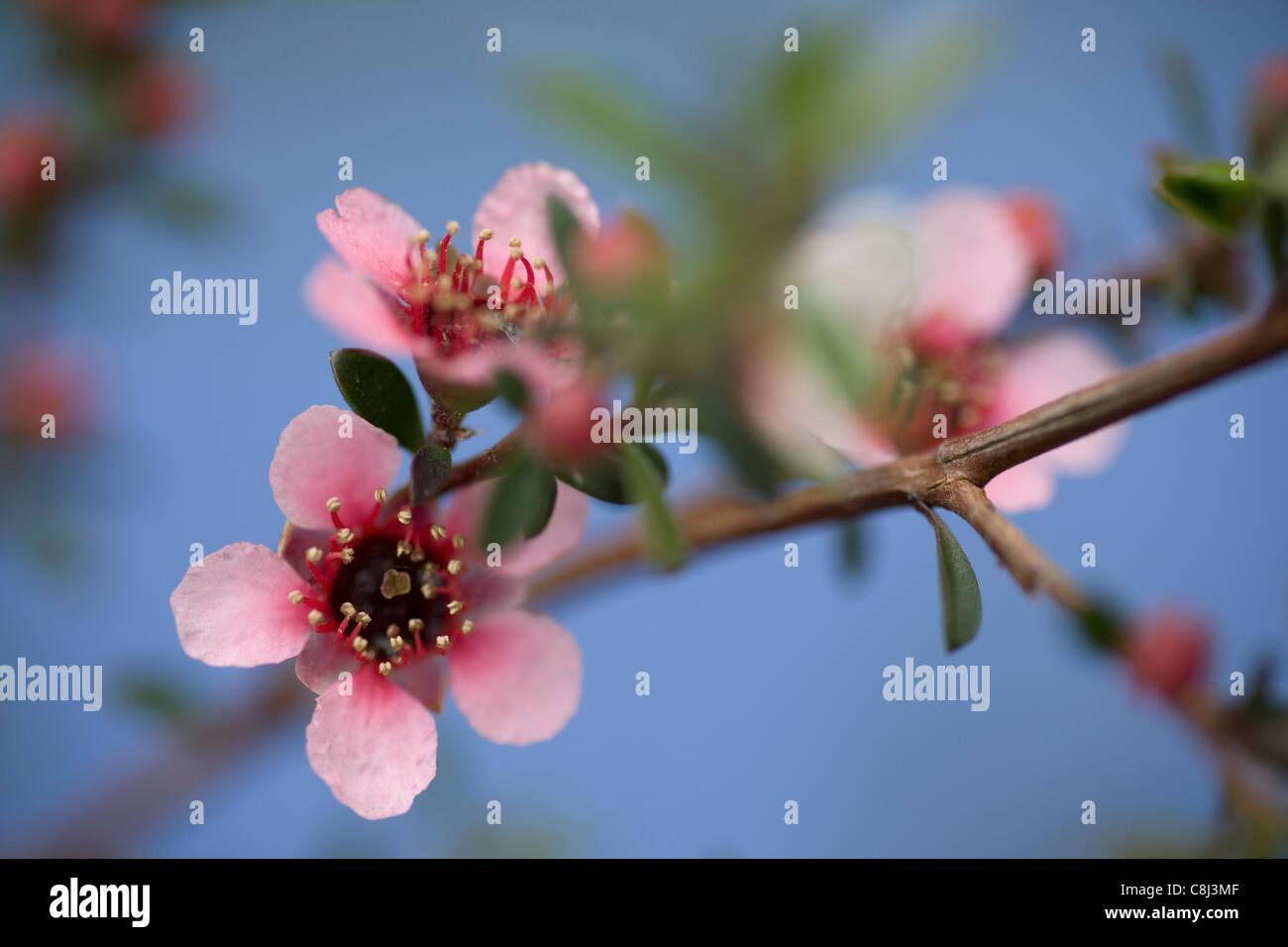Manuka Blume Blau Stockbild