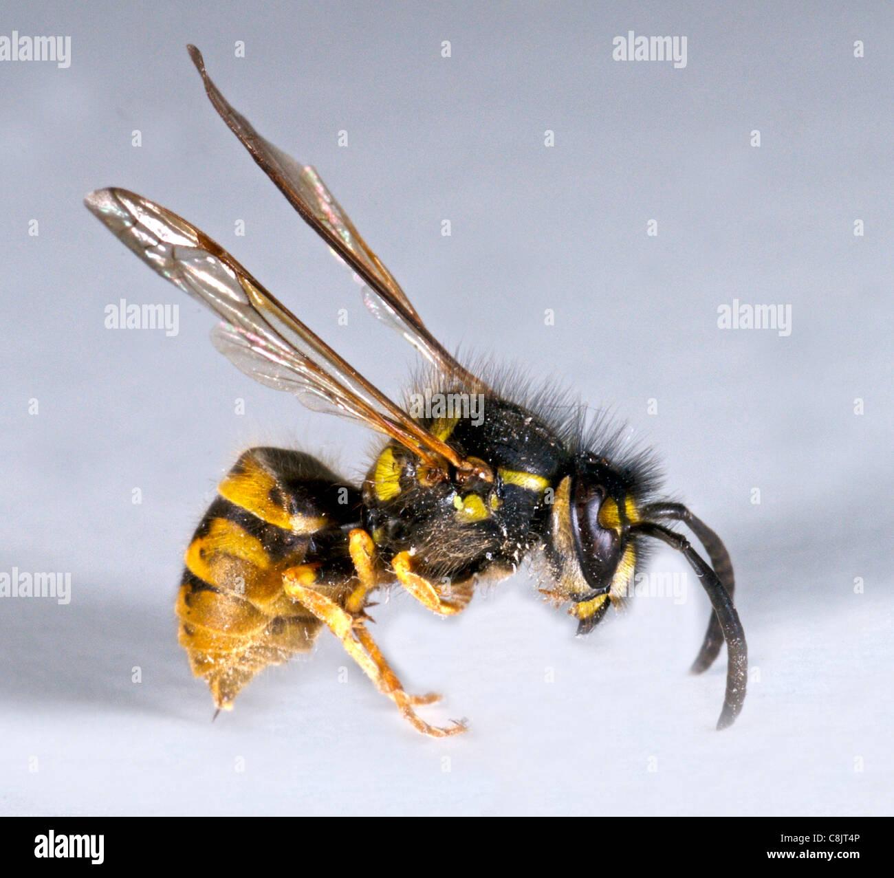 Gemeinsamen Wespe (Vespula Vulgaris) der Viscious Stachel der ...