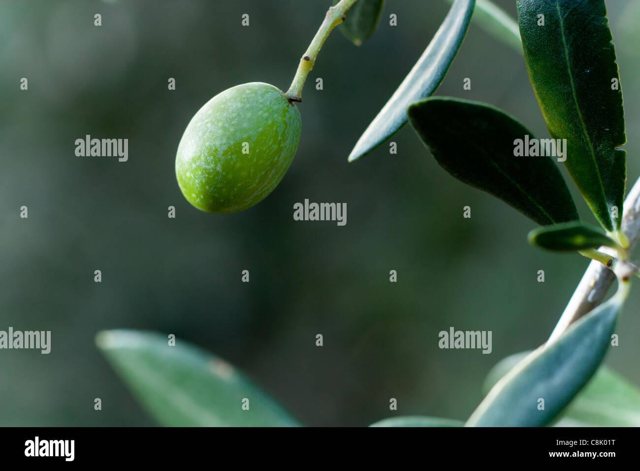 Grüne Oliven auf einem Zweig mit Blättern Stockbild