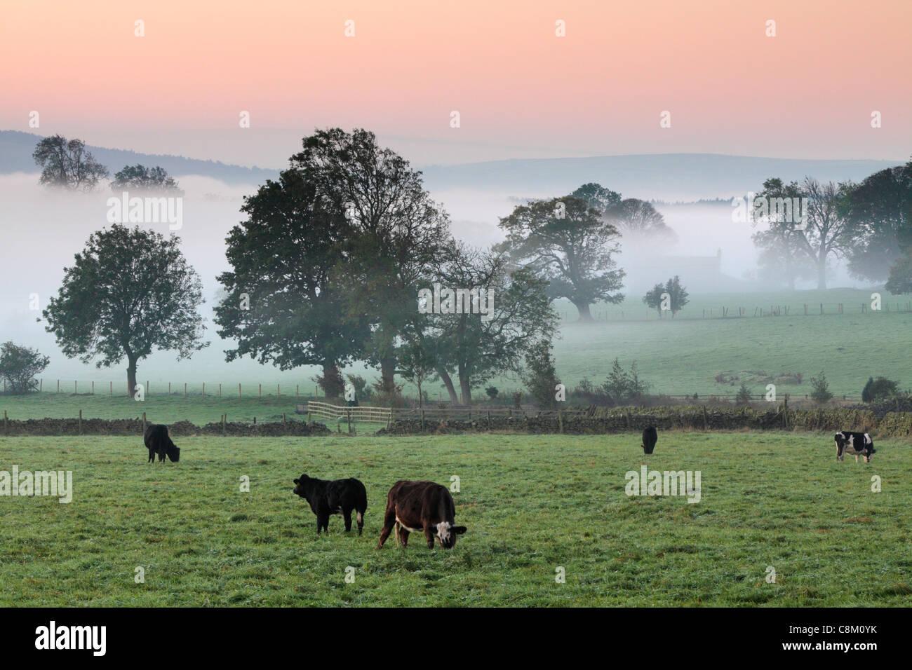 Rinder grasen auf nebligen Herbst Felder in der Nähe von Fewston in Yoorkshire, England Stockbild