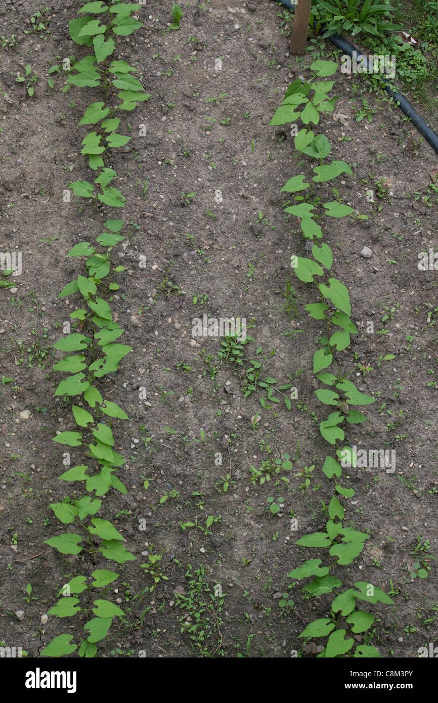 Zwei junge sprießende grüne Bohnen Blätter Michigan USA Stockbild