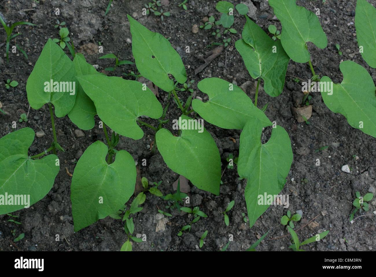 Grüne Bohne Pflanzen (Phaseolus Sorte), Gemüse Garten, Mitte Juni, Michigan USA Stockbild