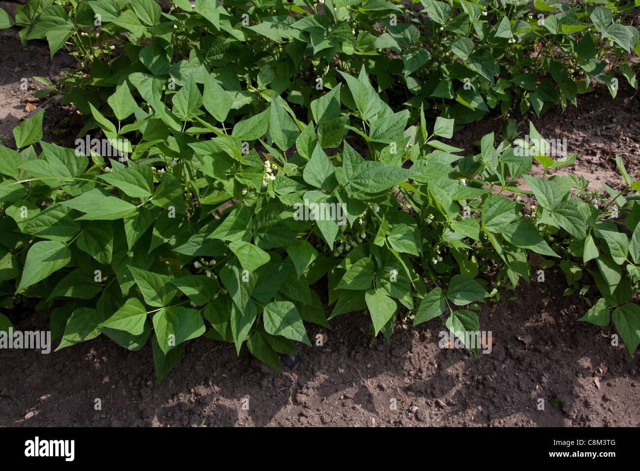 Blühende Pflanzen grüne Bohne (Phaseolus Sorte) Gemüse Garten, Mitte Juni, Michigan USA Stockbild