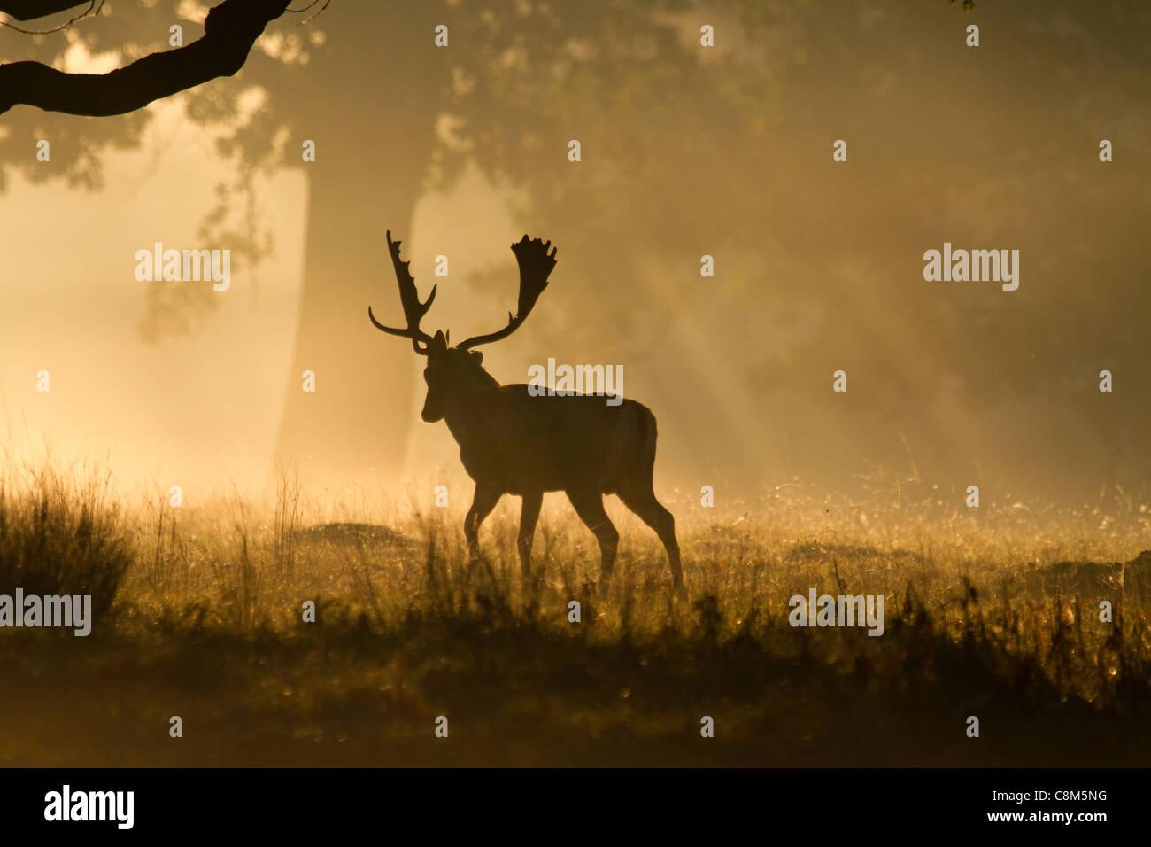 Damwild, Dama Dama Buck geht weg in das Licht des frühen Morgens Stockbild