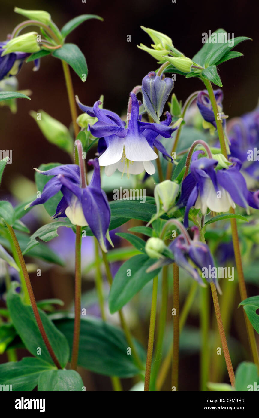 Akelei Aquilegia blau weiße Blume krautige Staude Stockbild