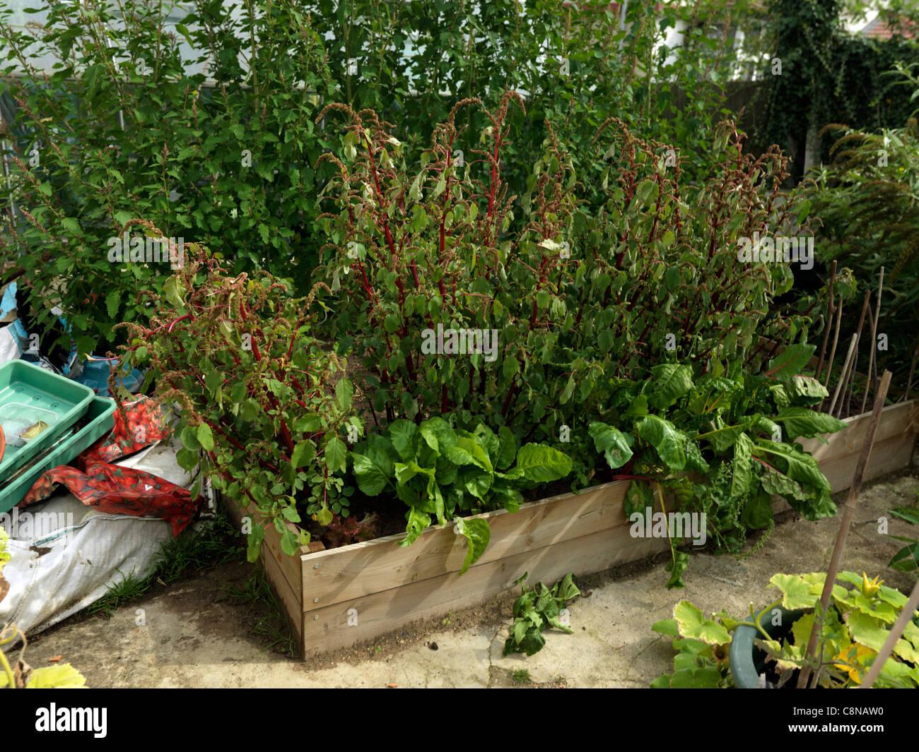 Hochbeet Mit Riesigen Roten Spinat Und Spinat Baum Surrey England
