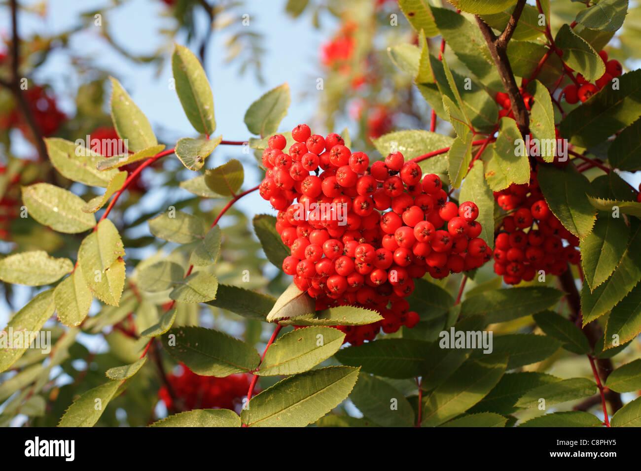 Herbstliche Ansicht von roten Beeren auf Eberesche Baum im Norden von Minnesota, Sorbus Americana. Stockbild