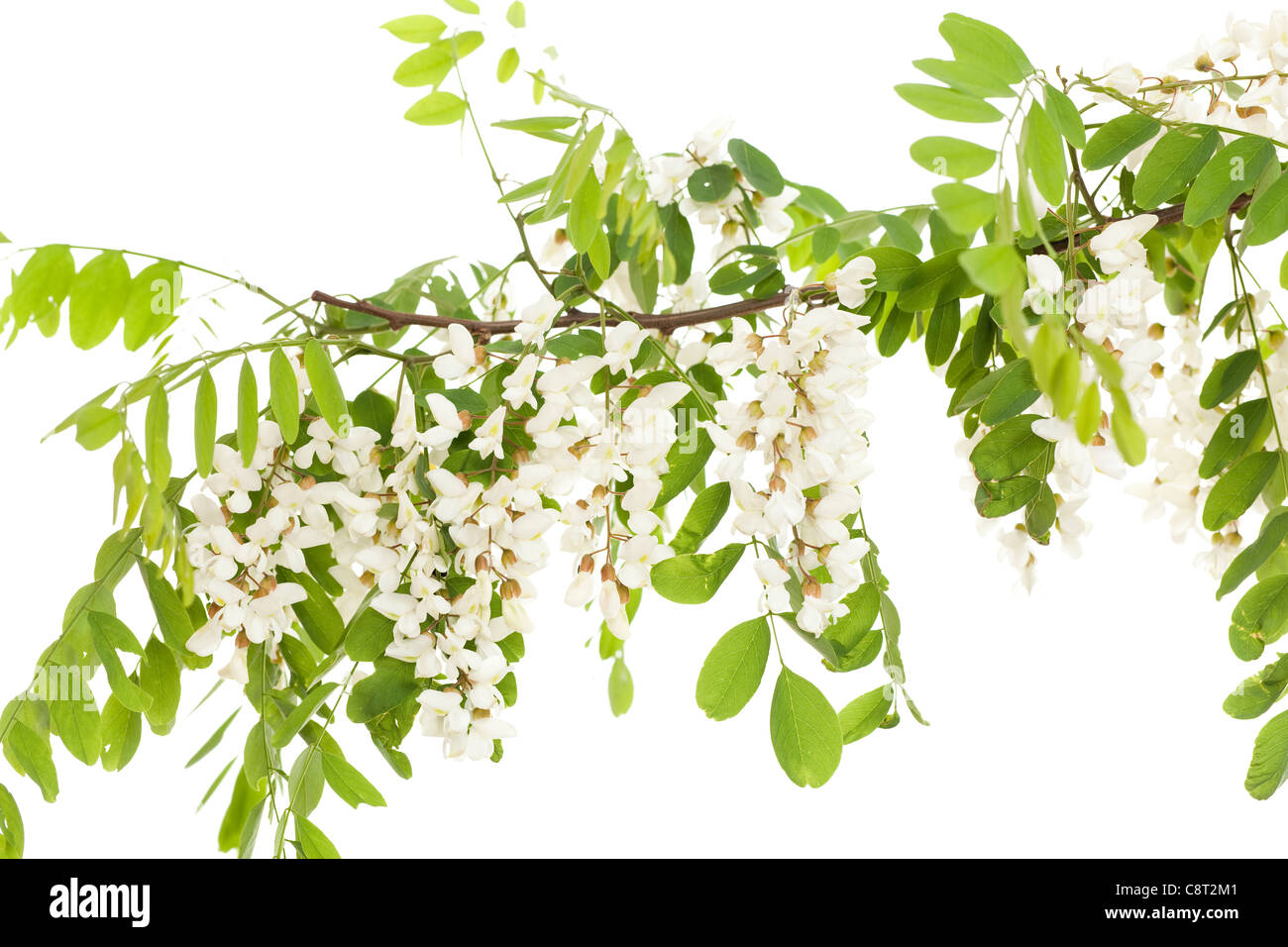 Akazie Zweig mit Blättern und Blumen auf weiß Stockbild
