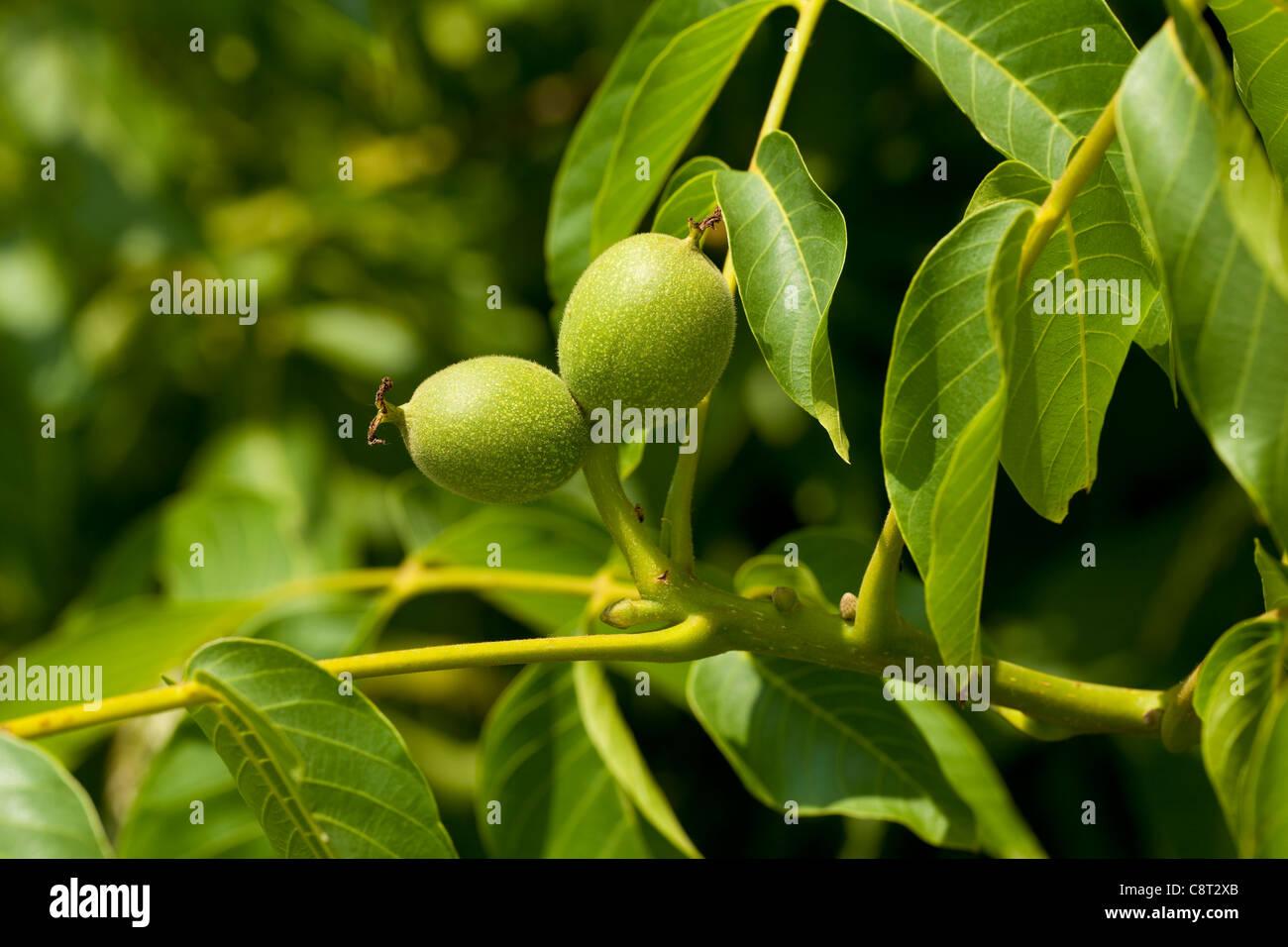 Walnuss Zweig mit jungen Früchten Stockbild