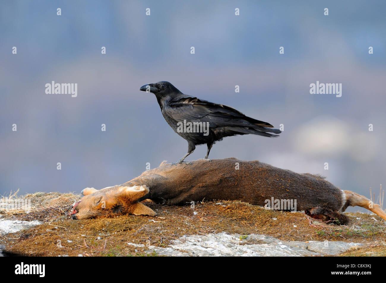 Raven Sie (Corvus Corax) stehend auf totes Reh Karkasse, Norwegen Stockbild