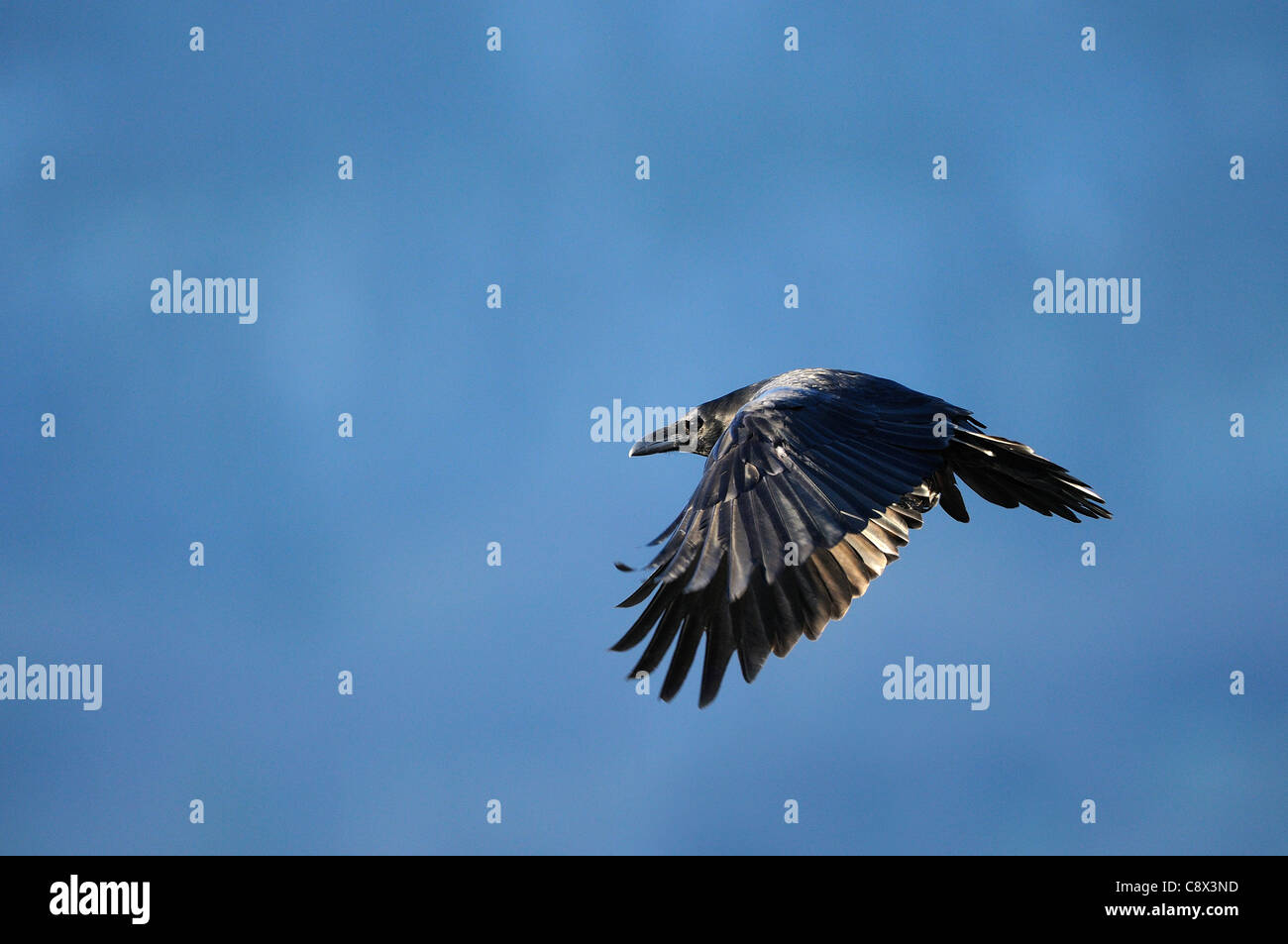 Raven (Corvus Corax) im Flug, Norwegen Stockbild