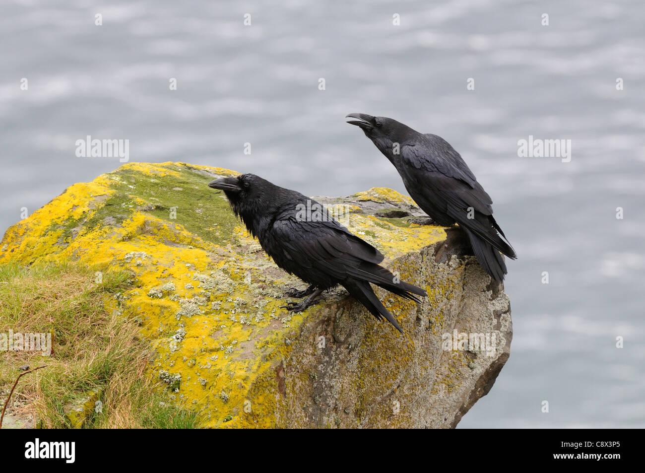 Raven Sie (Corvus Corax) Erwachsenen Zuchtpaar zusammen gehockt Küste Felsen, Varanger, Norwegen Stockbild