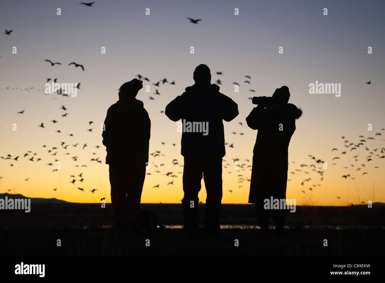 Vogelbeobachter Bosque del Apache New Mexico USA November Morgen Flug von Schneegänsen anzusehen Stockbild