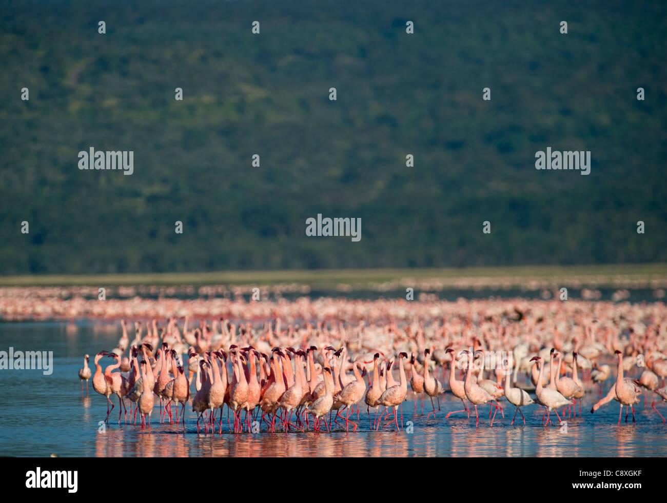 Lesser Flamingos Phoenicopterus minor am Lake Nakuru, Kenia Stockbild