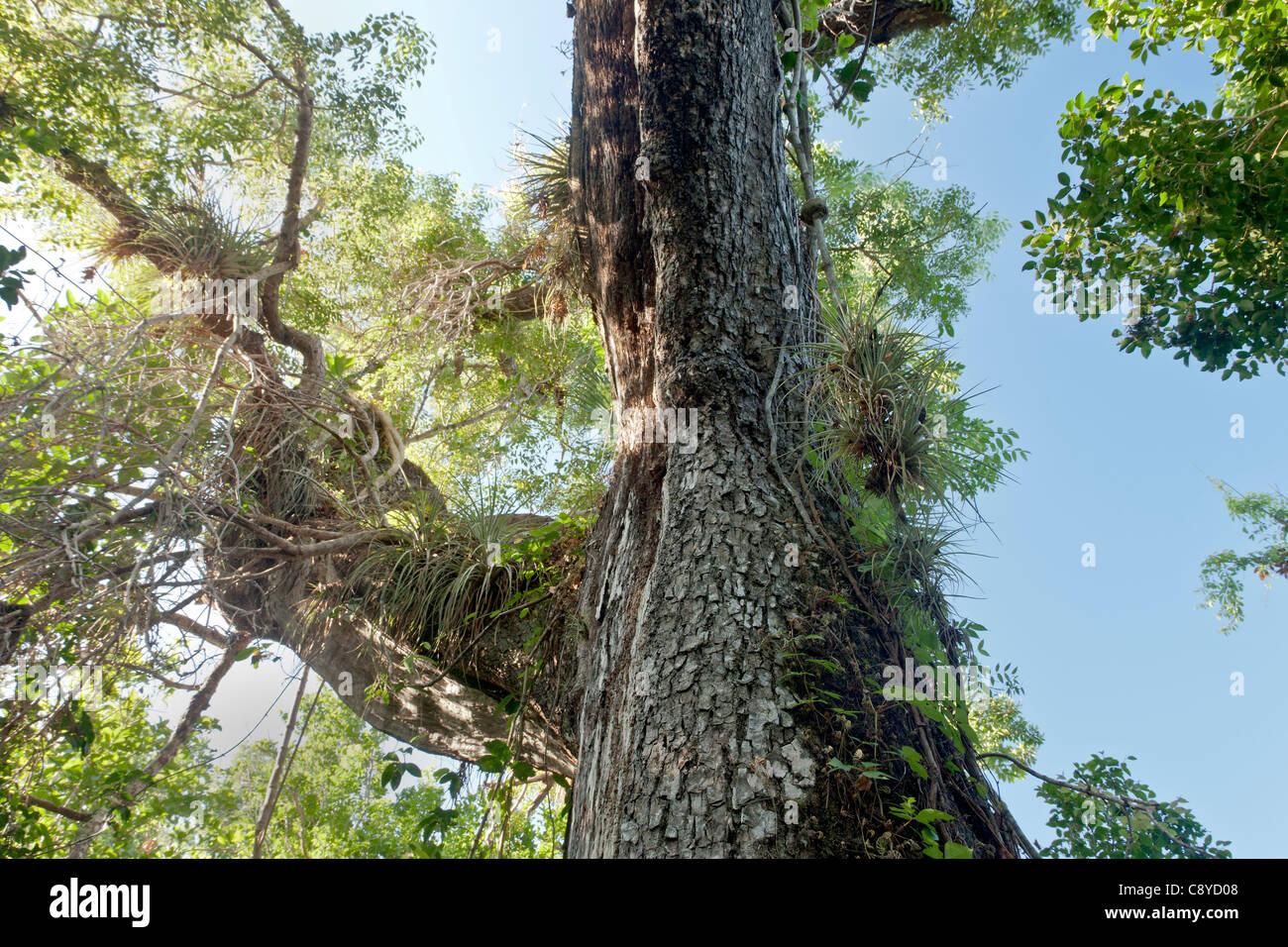 Mahagonibaum  Mahagoni-Baum, Luft Pflanzen Stockfoto, Bild: 39940888 - Alamy
