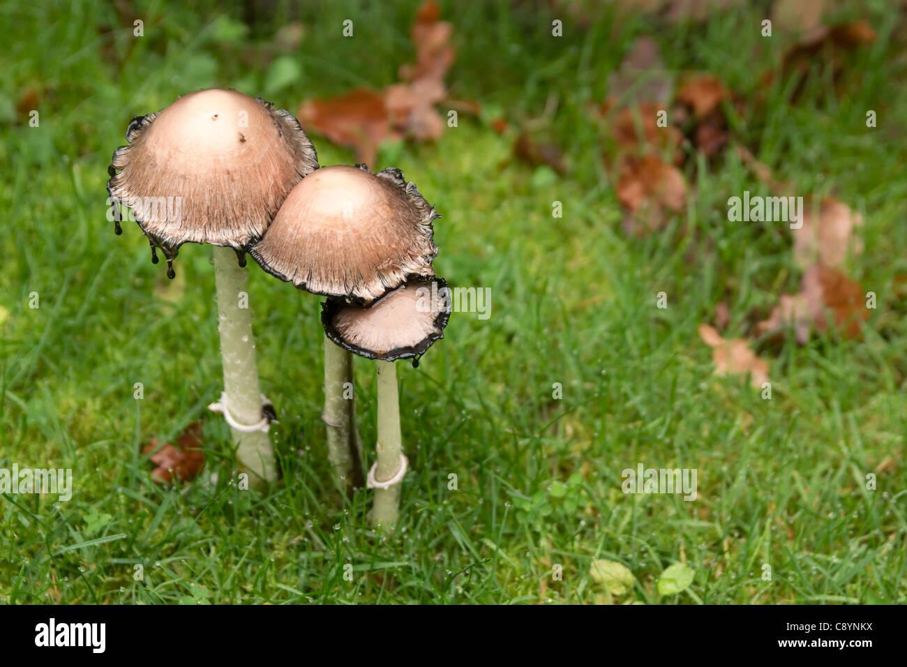 Geliebte Drei Garten Pilze im Rasen Stockfoto, Bild: 39947710 - Alamy &XN_49