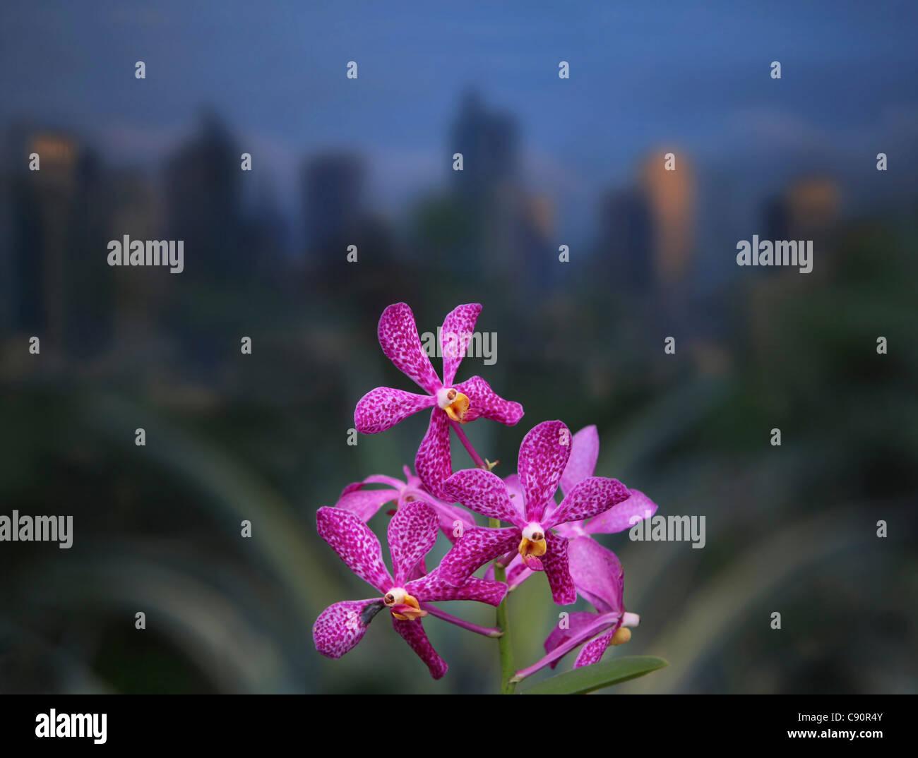 Orchideen im Greenbelt Park in Makati, Manila, Makati City, Manila, Insel Luzon, Philippinen, Asien Stockbild