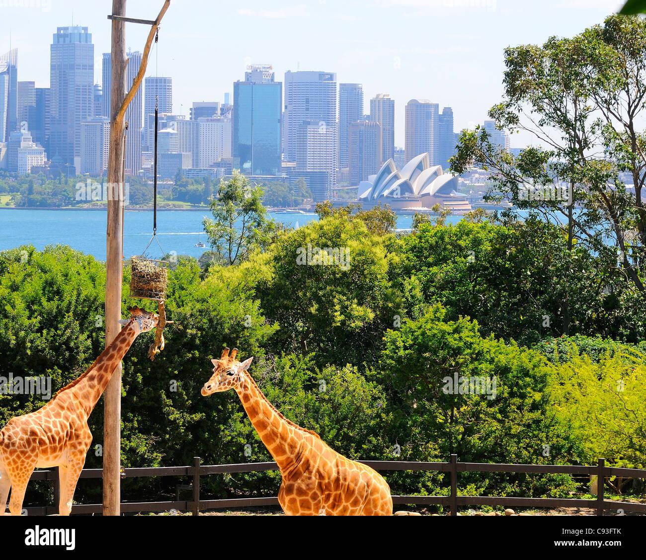Giraffe in ihrem Gehege im Taronga Zoo am Ufer des Sydney Harbour im Vorort Mosman mit Sydney CBD hinter's. Stockbild