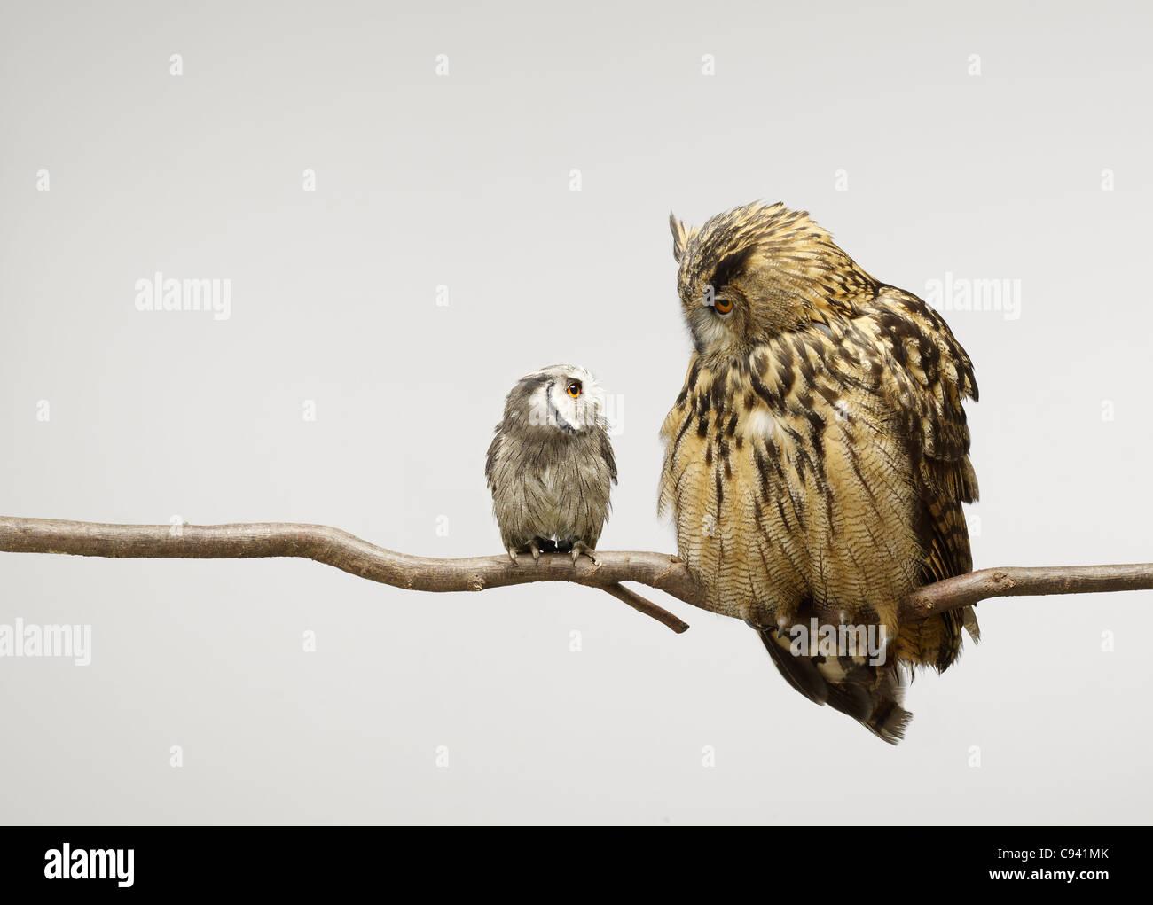 Zwergohreule und Uhu beisammen sitzen auf einem Ast sahen einander Stockbild