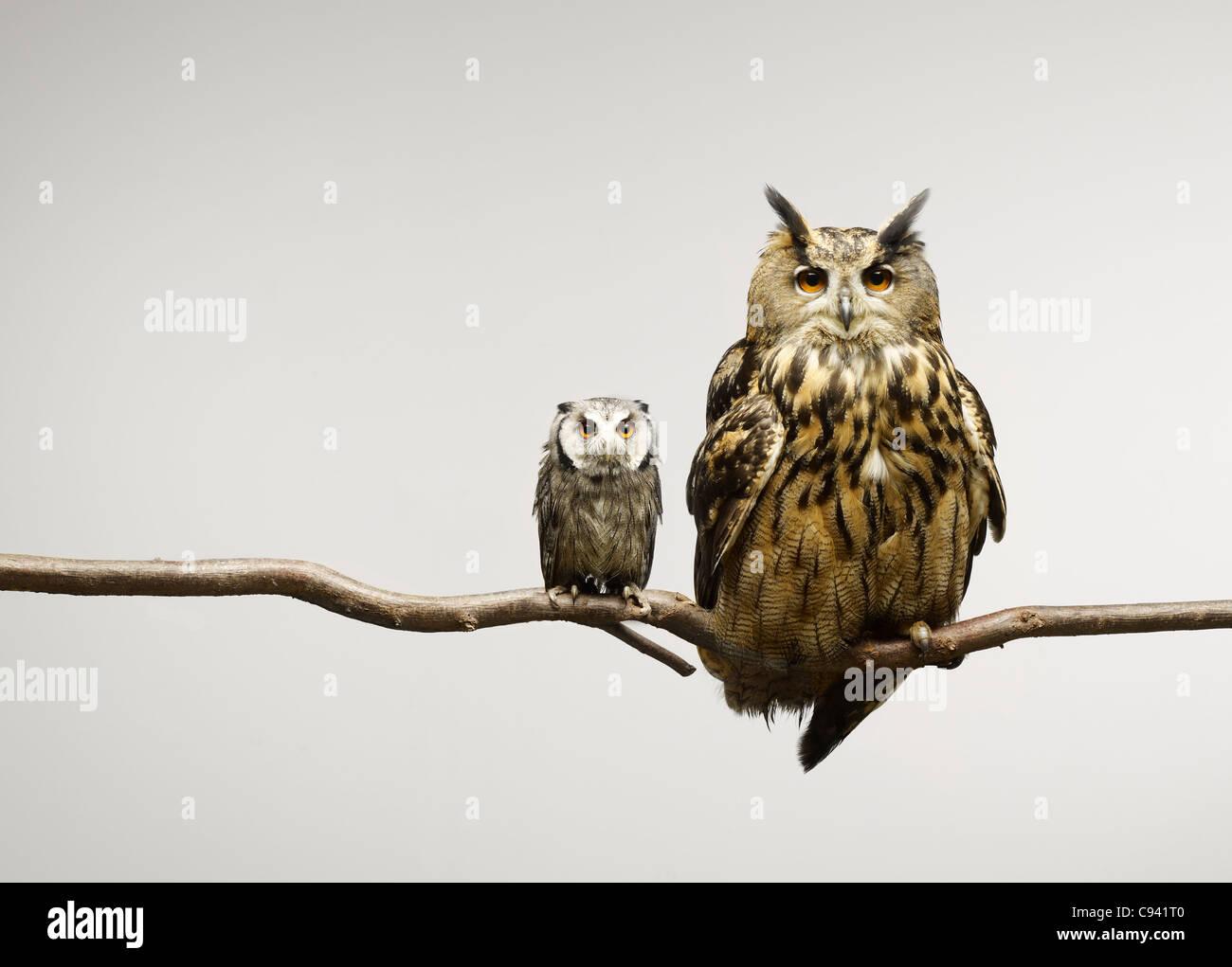 Zwergohreule und Uhu, die gemeinsam auf einem Ast sitzend Stockbild