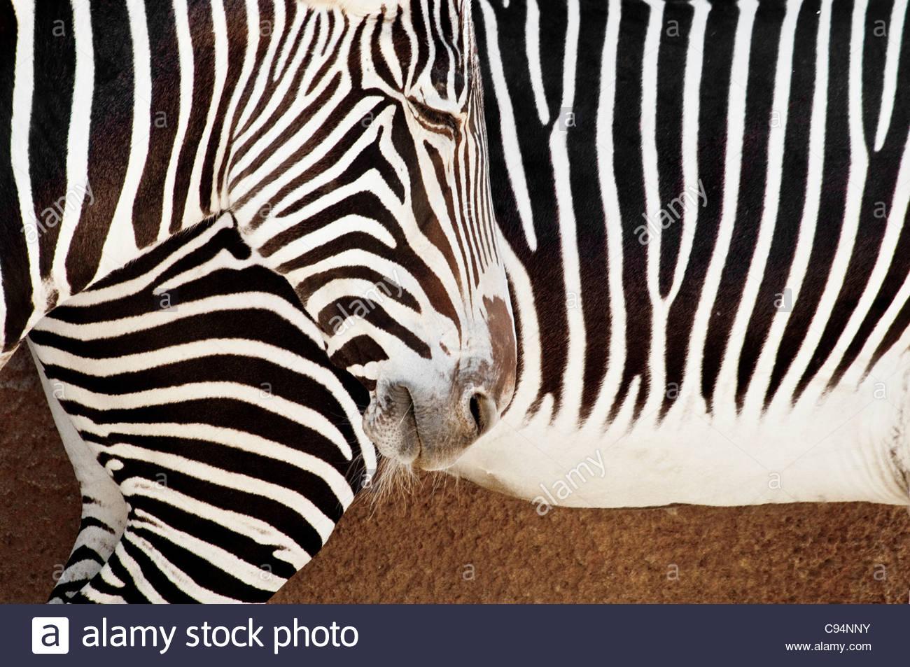 Nahaufnahme von Zebramuster, Grevy Zebra, Equus Grevyi, der Zoo von Los Angeles, Los Angeles, Kalifornien, USA Stockbild
