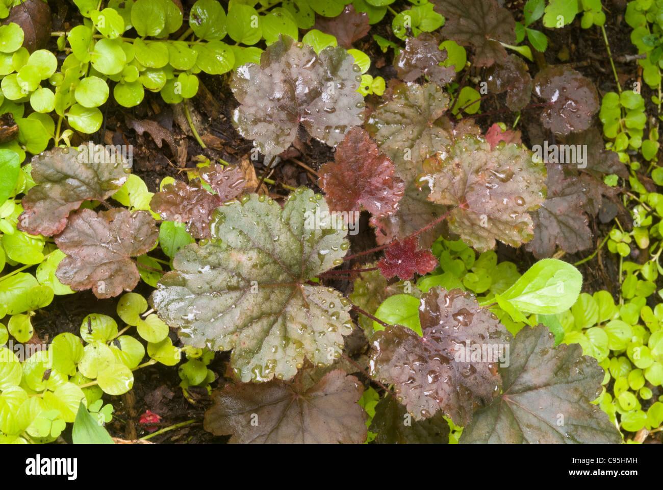 Heuchera Steel City Mehrjahrige Blattpflanze Mit Bodendecker