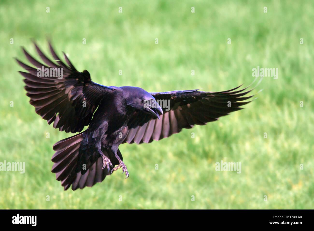 Rabe; Corvus Corax; Landung; UK Stockbild