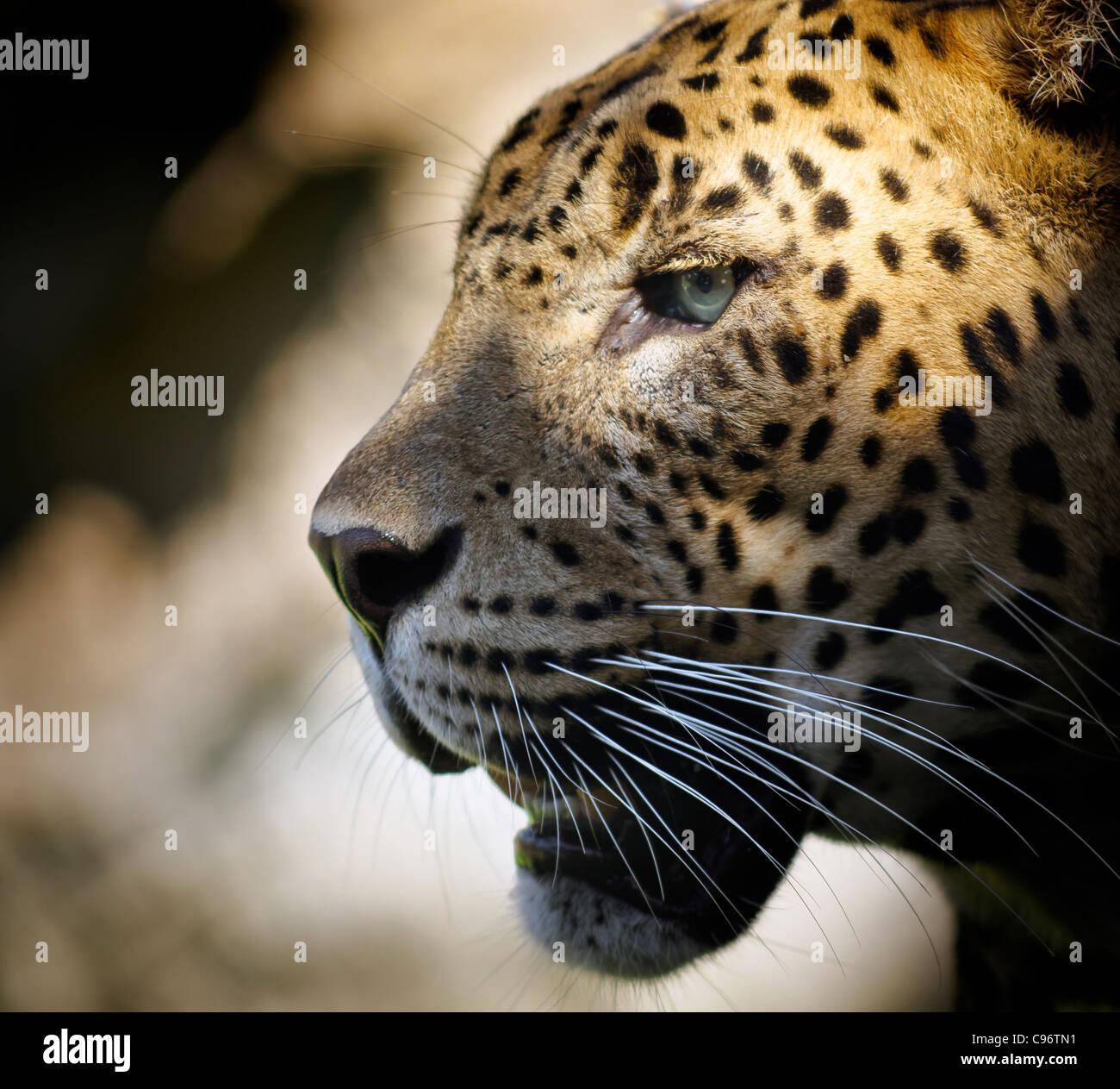 Porträt eines Leoparden mit dramatischen Beleuchtung im Auge. Stockbild