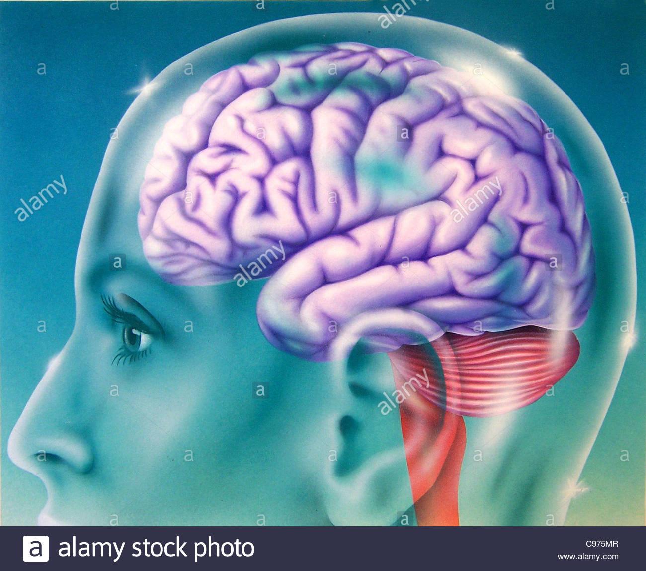 Gehirn im Querschnitt Seite Querschnitt Querschnitte Querschnitt ...