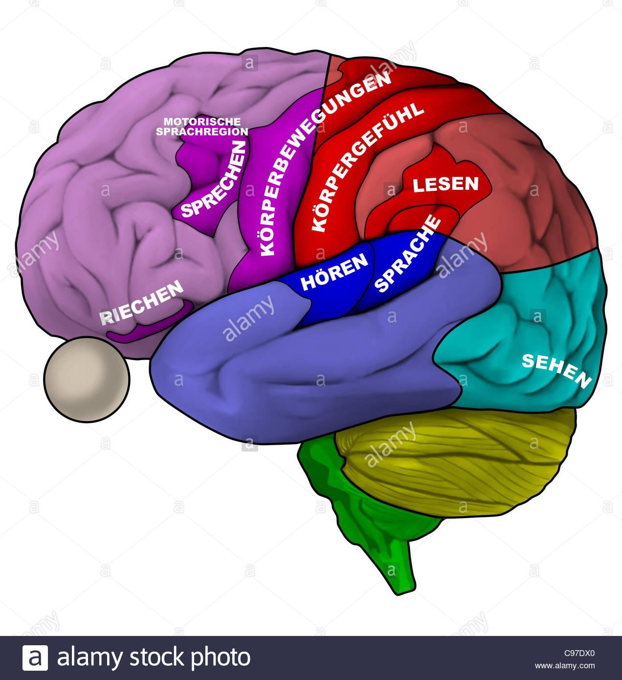 Brain In Cross Section Side Stockfotos & Brain In Cross Section Side ...