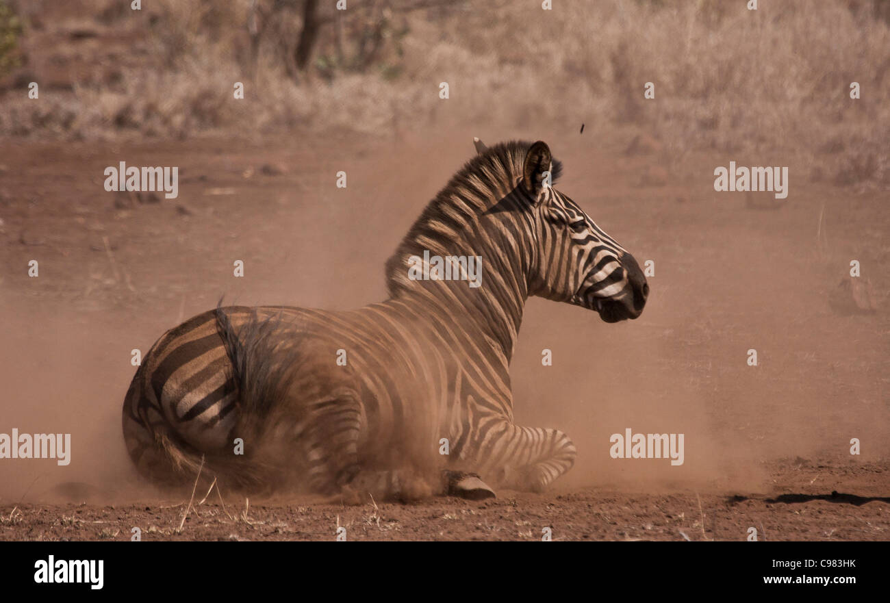 Zebra Rollen in den Staub Stockbild