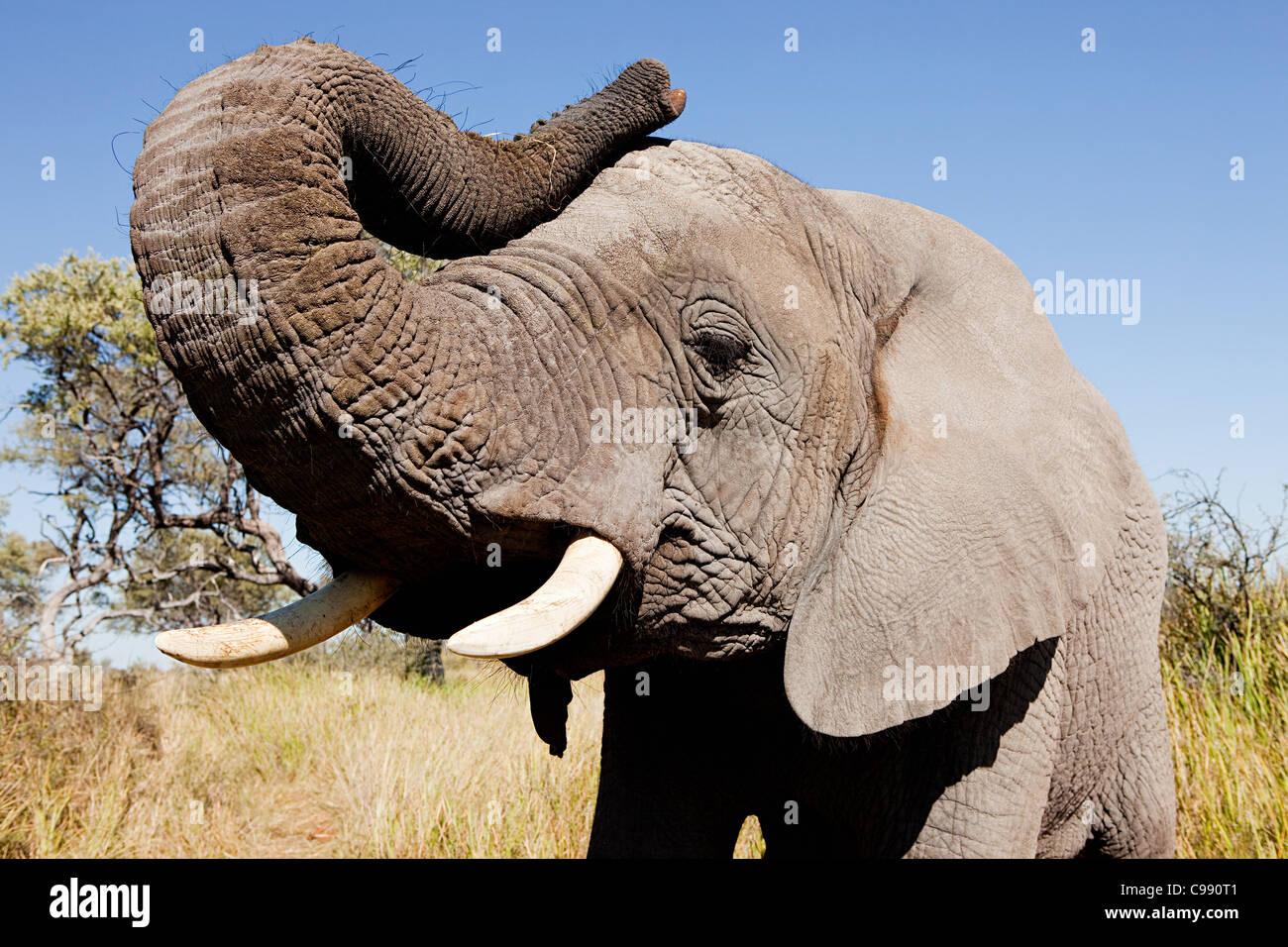 Weibliche afrikanische Elefanten, Botswana, Afrika Stockfoto, Bild ...