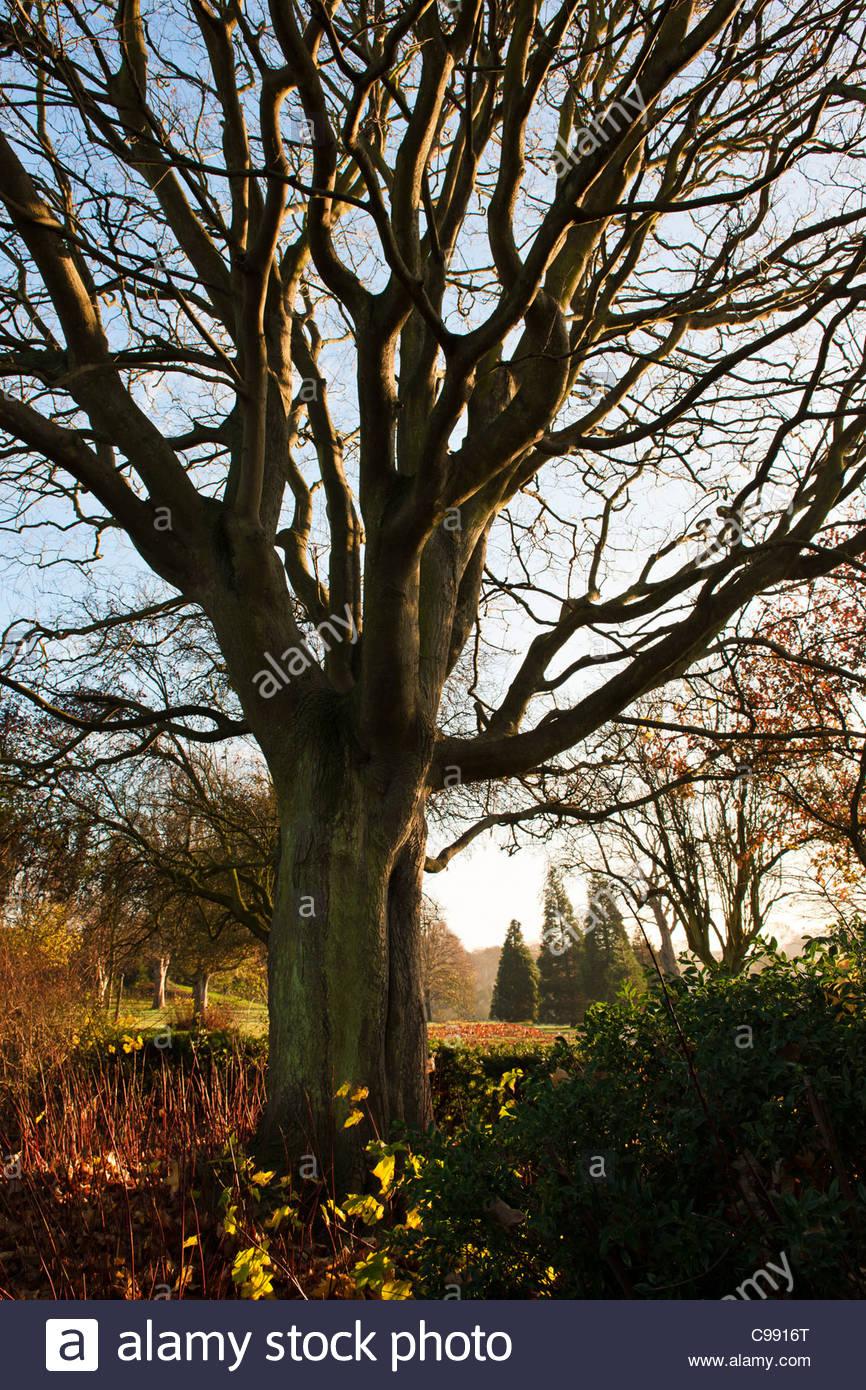 Ahorn acer pseudoplatanus bergahorn fallen sp therbst baum kahl krabbelt stamm silhouette sonne - Garten baum fallen ...