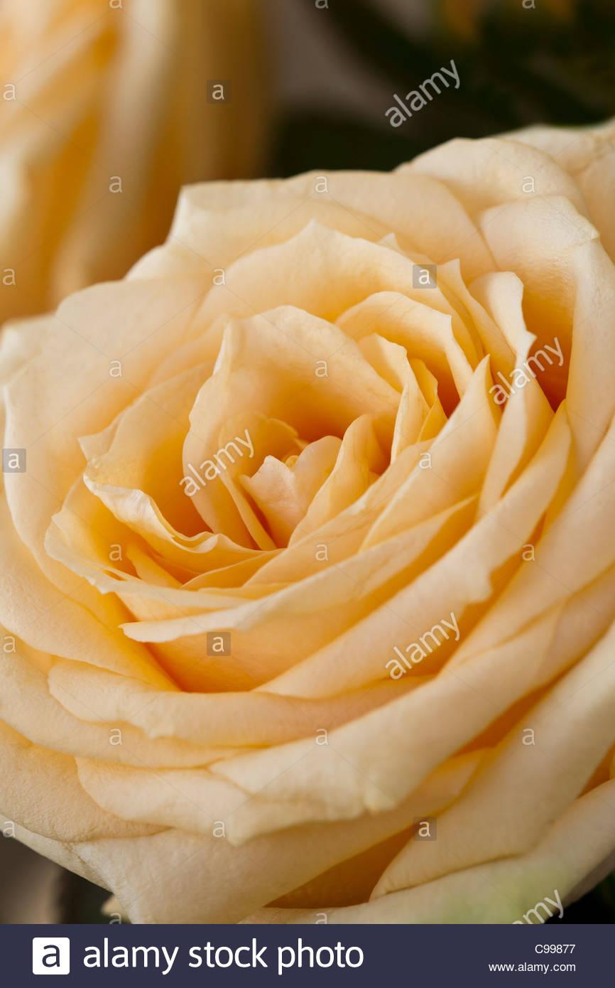 Blumengeschäft Rose weiche rosa Pfirsichblüten Herbst Herbst Oktober Gartenpflanze Stockbild